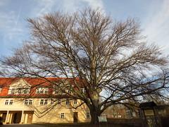 uralte Rotbuche im Schlosshof (germancute) Tags: outdoor arnstadt thuringia thüringen tree town neideck building school