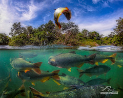Jumping fish (Valter Patrial) Tags: jumping fish bonito matogrossodosul river water valterpatrial