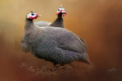 Guinea Fowl Domestic... (Patlees) Tags: guineafowl bird domestic textured dt