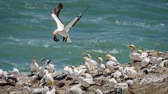 Everybody's watching (Stefan Marks) Tags: animal australasiangannet bird colony flying gannet landing looking morusserrator nature outdoor aucklandwaitakere northisland newzealand
