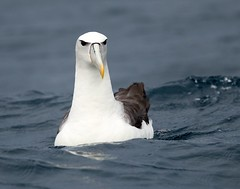 Thalassarche steadi (ftbirds) Tags: forster nsw australia barry m ralley barrymralley pelagic bird species great lakes region thalassarche steadi whitecapped albatross