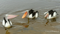 On the warpath (Peter.Stokes) Tags: australia australian bird colour colourphotography fauna landscape landscapes native nature newsouthwales outdoors photo photography vacations winter flight flying wildlife pelican pelicans bigbird birds