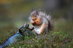 Red Squirrel (debsiep1) Tags: red squirrel cairngorms scotland nikon