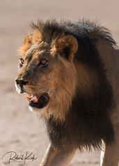 RKO_4912-2-2-imp (Jambo53 ()) Tags: copyrightrobertkok crobertkok backlight kgalagaditransfrontierpark southafrica zuidafrika leeuw blackmanedlion predator roofdier