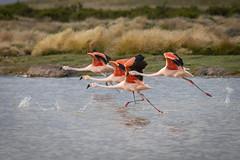 Flamenco chileno, Chilean flamingo, Phoenicopterus chilensis (Andres Puiggros) Tags: d500 altiplano andes arica chile clouds landscape lauca nature nikon nubes parinacota flamencochileno chileanflamingo phoenicopteruschilensis flamenco flamingo birds