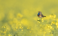 Une gorgebleue a fait le printemps (Eric Penet) Tags: animal sauvage france faune nature nord avesnois wildlife wild avril bird oiseau gorgebleue bluethroat mâle colza miroir campagne