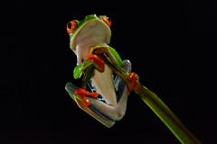 Red-eyed tree frog (Mustafa Kasapoglu) Tags: redeyedtreefrog frog treefrog animal nature costa rica