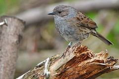 Dunnock (sumowesley) Tags: bird dunnock fauna nature oldmoor