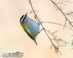 Goldcrest (Regulus regulus)-8562 (George Vittman) Tags: bird branch goldcrest tree nikonpassion wildlifephotography jav61photography jav61 fantasticnature