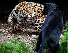 Jaguar Fall-out.. (mickb6265) Tags: chester chesterzoo cheshire uk england cheetah africa black golden jaguar
