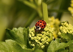 Harlequin Ladybird (Severnrover) Tags: harlequin ladybird insect ladybirds alexanders april spring