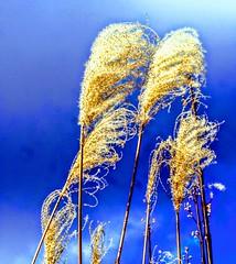 Miscanthus sinensis (pmorris73) Tags: arboretum pennstateuniversity statecollege pennsylvania century 2ca1319 3ca1319 4ca1419 5ca1519 6ca2319 7ca3119 8cb2519 9cc0619
