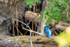 IJsvogel (michel.wessels1) Tags: ijsvogel kingfish natuurfotografie