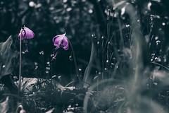 _DSC8931-Edit (shoji imamura) Tags: erythronium japonicum flower spring tokyo machida yakushiike カタクリ 花 野草 春 東京 町田 多摩 薬師池 薬師池公園 dogtooth violet