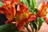 Secrets in depth (Pensive glance) Tags: lily lys alstroemeria peruvianlily lilyoftheincas lyspéruvien lysdesincas flower fleur