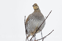 Sharp-tailed Grouse in Theodore Roosevelt National Park (Lee Rentz) Tags: america dakotaterritory greenash littlemissouririver medora nd northamerica northdakota northdakotabadlands sharptailedgrouse theodoreroosevelt theodorerooseveltnationalpark tympanuchusphasianellus adult animal autumn badlands behavior bird birding birdwatching branches cold conservation conservationmovement conservationist fall grassland greatplains grouse horizontal landscape lateautumn nationalpark nationalparkservice nature perched perching prairie precipitation snow snowcovered snowing snowy southunit twigs usa wildlife winter wintry