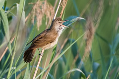 Great reed warbler (JS_71) Tags: nature wildlife nikon photography outdoor 500mm bird new see natur pose moment outside animal flickr colour poland sunshine beak feather nikkor d7500 wildbirds