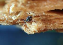 Dicyrtomina sp.5 Janssens & Dobbs 2016 (Bugldy99) Tags: springtail symphypleona collembola macro animal arthropod arthropoda hexapod hexapoda macrocloseup