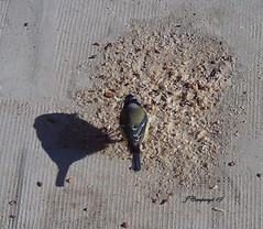 7PTDC0876 (Pep Companyó - Barraló) Tags: ocells pajaros aves aus ornitologia animals fauna natura puigreig bergueda barcelona catalunya josep companyo barralo
