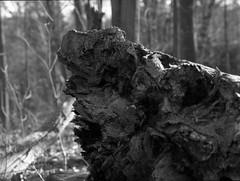 FRB No. 33 - Ultrafine Extreme 100 - Roll No. 2 (Kodak HC-110) (Alex Luyckx) Tags: oakville ontario canada mccrannyvalley mccranny valley park ravine greenspace urban nature trail hike walk forest woods trees filmreviewblog frb filmreview review media medium mamiya mamiyam645 slr 120 mediumformat 6x45 645 mamiyasekorc150mm135n ultrafineonline ultrafine ultrafineextreme100 extreme100 asa100 kodak kodakhc110 hc110 dilutionh 163 bw blackwhite pentaxspotmeterv epsonv700 adobephotoshopcc film filmphotography believeinfilm filmisalive filmisnotdead