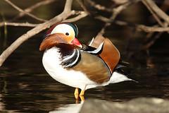 Mandarin Duck (Dougie Edmond) Tags: bird duck nature wildlife alexandria scotland unitedkingdom gb