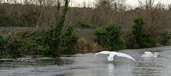 FIGHTING SWANS [ ROYAL CANAL BETWEEN BROOMBRIDGE AND ASHTOWN]-148343 (infomatique) Tags: birds swans fight wildlife nature water canal royalcanal canalwalk sony a7riii batis zeiss 135mmlens williammurphy infomatique fotonique ireland