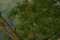 "Green Woodpecker ""Explored"" (Derbyshire Harrier) Tags: greenwoodpecker magura romania transylvania naturetrek summer 2018 june picusviridis wild explore explored"