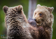 Brother, don't punch my nose! (GunnarImages (Gunnar Haug)) Tags: mother lick landscape cute finland trunk nordic nose brownbear power wildlife tree forest love pretty green brown mammal blueberry branch