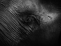 E L E P H A N T  S K I N (Vivi Black) Tags: animal nature light composition thailand elephant life contrast texture blackandwhite