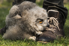 Birdy num num (Bram Meijer) Tags: uil uilskuiken owl birdofprey