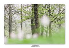 Tendre printemps ... (jeremie.brion) Tags: nature printemps arbre forêt