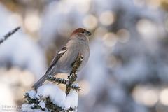Durbec des sapins / Pine Grosbeak (Pierre Lemieux) Tags: durbecdessapins pinegrosbeak forêtmontmorency québec canada can soleil bokeh juvénile bird boréal