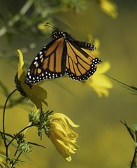 MonarchButterfly_SAF7759-2 (sara97) Tags: danausplexippus butterfly copyright©2018saraannefinke endangered insect missouri monarch monarchbutterfly nature photobysaraannefinke pollinator saintlouis inflight