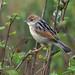 Winding Cisticola - Nairobi NP - Kenya CD5A9444