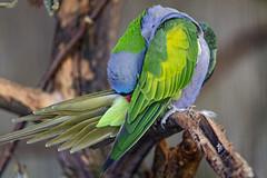 Chinese parrot grooming (Tambako the Jaguar) Tags: chinese parrot macaw green blue bird grooming feathers plumage perched branch zürich zoo switzerland nikon d5