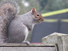 Saturday, 16th, A busy morning IMG_2927 (tomylees) Tags: essex morning winter february 2019 16th saturday garden greysquirrel fence