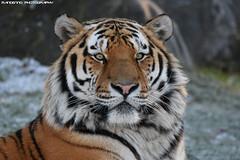 Siberian tiger - Safaripark beekse bergen (Mandenno photography) Tags: bigcats bigcat safaripark beeksebergen siberian tigers dierentuin dieren tijgers tiger zoo