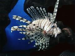 Lion Fish (Mary Faith.) Tags: lion fish aquarium melbourne tmicomp