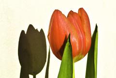 Tulip in the sun (Kat-i) Tags: macromondays hardlight tulpe tulip blume flower makro schatten shadow nikon1v1 kati katharina 2019 february18 blüte blossom rot red
