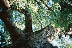 (The Path Ahead) Tags: nara 八幡神社 camphortree 樟 500yearsold zeissikonzm leitz summilux 35mm prea infinitylock kodak portra 160 japan