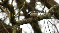 Great Tit (Nick:Wood) Tags: nature wildlife bird greattit parusmajor woodland tree cuttlepoolnaturereserve warwickshirewildlifetrust templebalsall