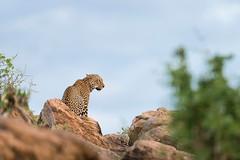 Camouflage (Vincent Chopard • Wildlife photographer) Tags: leopard africa bigcat leo felin wild wildlife animal kenya samburu masaimara nikon d800 nikkor lens 400mm vincentchopard