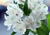 Wedding day... (Pensive glance) Tags: lily peruvianlily lilyoftheincas lyspéruvien lysdesincas alstroemeria flower fleur