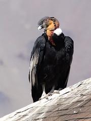Cóndor (Vultur gryphus), macho. (Andres Bertens) Tags: 7238 olympusem10markii olympusomdem10markii olympusm75300mmf4867ii olympusmzuikodigital75300mmf4867ii rawtherapee condor vulturgryphus bird