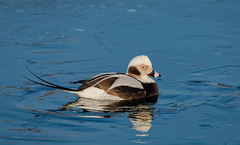 Long-Tailed Duck (hey its k) Tags: 2019 birds canal canon5dmarkiv duck hamilton liftbridgepier longtailedduck nature ontario canada ca imga1722e