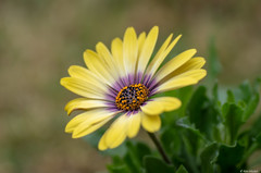 African Daisy (Ken Mickel) Tags: africandaisy beautiful colors floral flower flowers flowersplants kenmickelphotography plants yellow blossom botanical closeup daisy nature photography