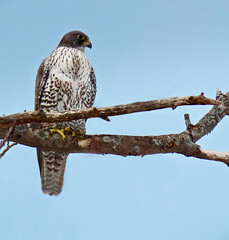 I'm talon you, this was exciting to see! (Meryl Raddatz) Tags: bird gyrfalcon falcon nature naturephotography canada