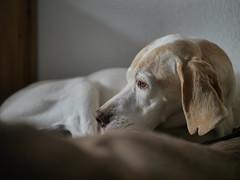 1070545 (mireiatarres) Tags: dog pointer hund perro interior white blanco