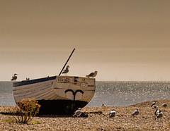 Aldeburgh #aldeburgh #suffolk #boat #seagulls  #beach #uk #england (Phil Fiddyment) Tags: england seagulls aldeburgh uk beach suffolk boat