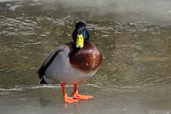 What!!! (Vie Lipowski) Tags: mallard anasplatyrhynchos duck mimicocreek animal bird aquaticbird wildlife waterfowl nature